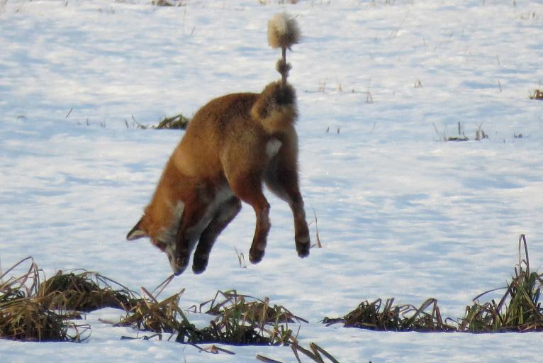 Sajutusi peli zem sniega, tā taisa augstu lēcienu.