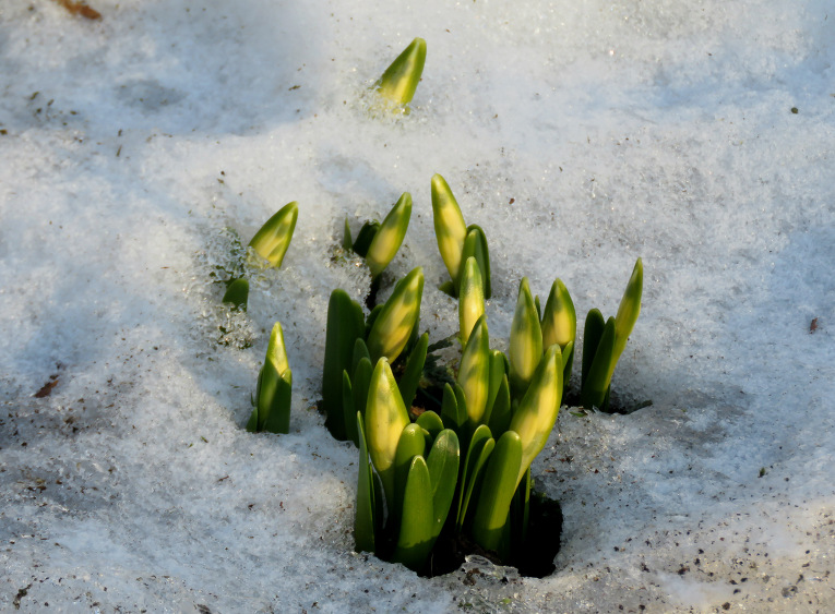 Ar katru dienu var manīt arvien vairāk pavasara vēstnešu.