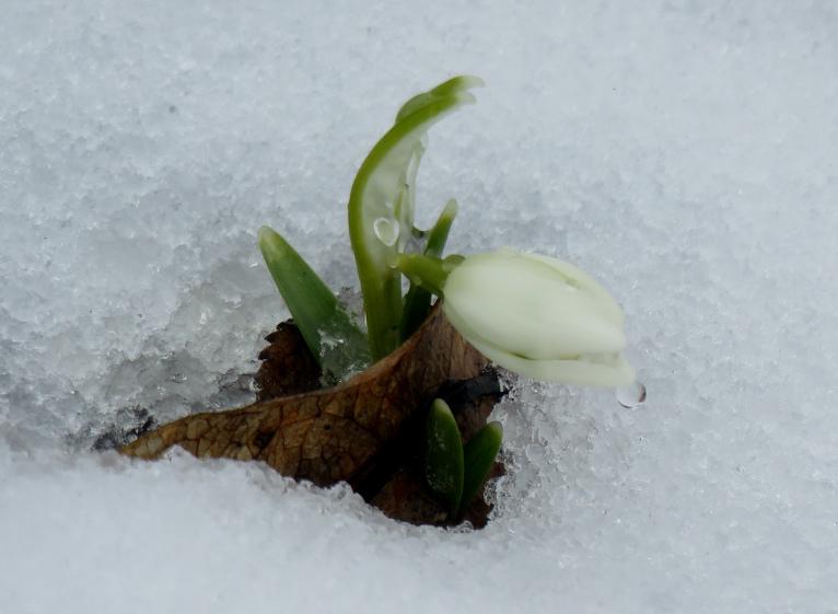 3. marta rīts, pirmie sniegpulksteņi caur sniega kārtu izlauzušies!