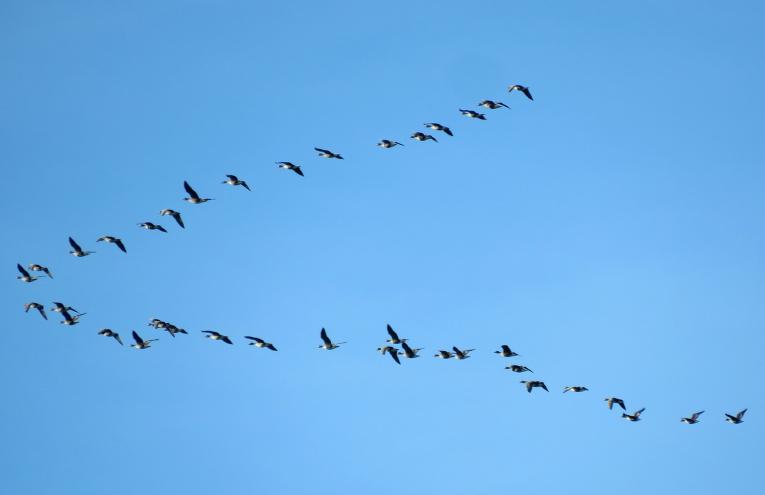 Turpinās zosu migrācija.