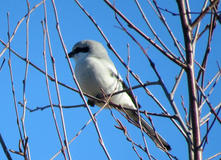 Izdodas nofotogrāfēt lielo čaksti, kas ir samērā rets putns un ierakstīta Sarkanajā grāmatā. Izrādās, ka tas ir plēsīgs putns, ne tikai peles un ķirzakas, bet arī sīkie putniņi ir tā ēdienkartē.