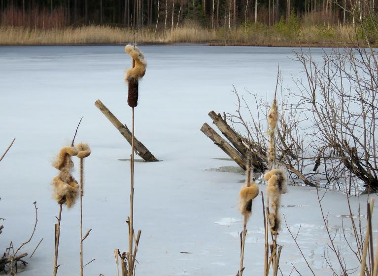 Arī meža ezeriņā vēl ledus.