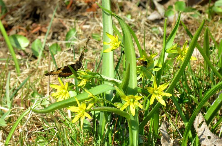 Grāvmalā zied zeltstarītes. Ja nākošā nedēļa būs auksta, augiem klāsies grūti.