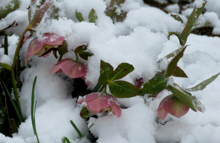 Sniega rozes pilnībā atbilst nosaukumam
