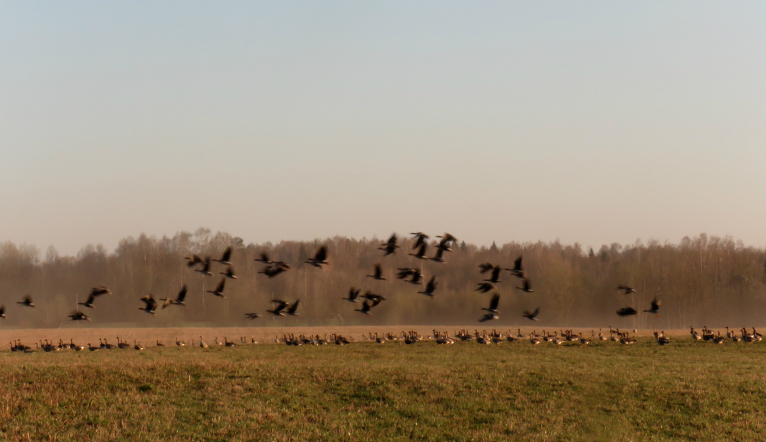 Manas tuvošanās iztraucētas, tās paceļas spārnos, lai pēc laiciņa atlidotu atpakaļ.
