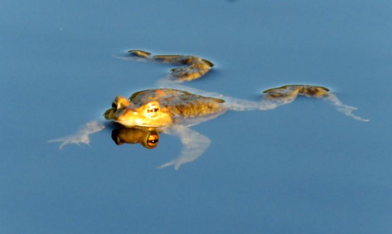 Pie dīķiem un ezeriņiem arī rosība, vardes kļuvušas aktīvākas, vēl gan lielā kurkstēšana nav sākusies.