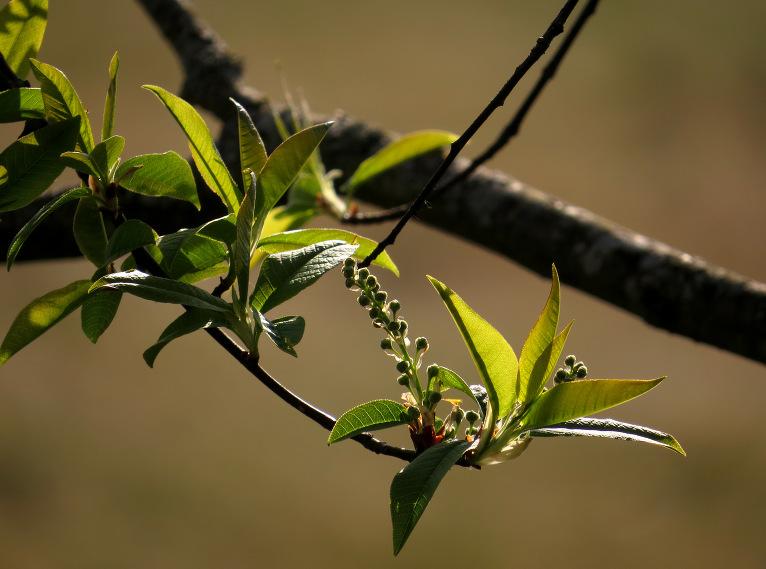 Ievas jau zaļas, drīz ziedēs.