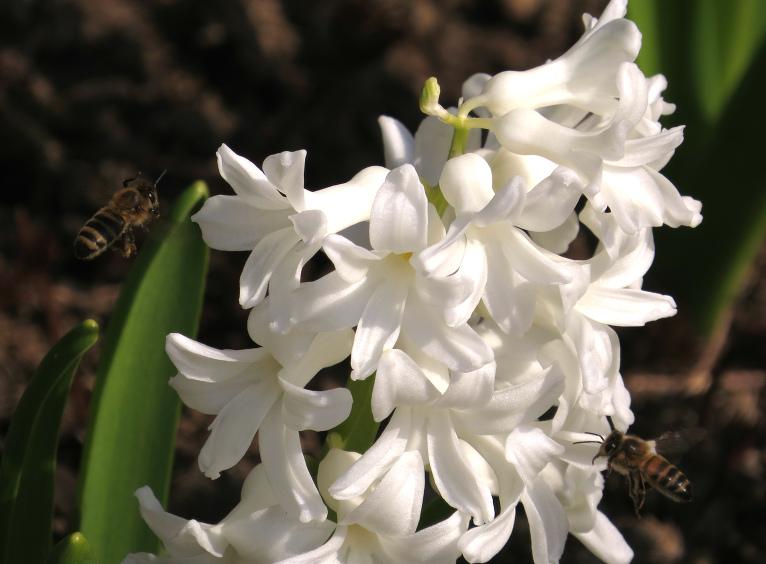 Bites siltajā un sausajā laikā čakli strādā.