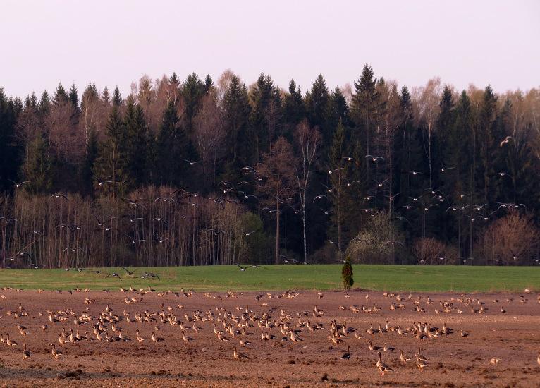 Migrējošie zosu bari turpina uzkrāt spēkus Latvijas laukos