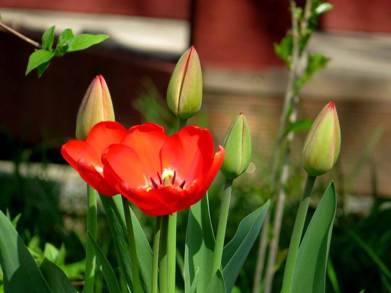 Karstā 27. aprīļa diena burtiski atrauj vaļā ziedus