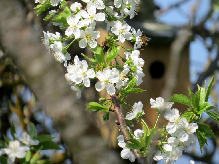 Pilnos ziedos saldie ķirši un plūmes.