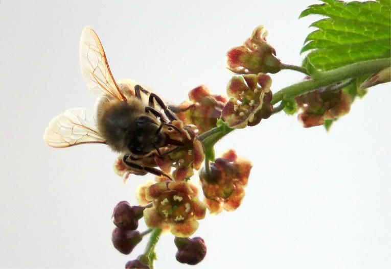 bite- vākt nektāru ziedošajās jāņogās,