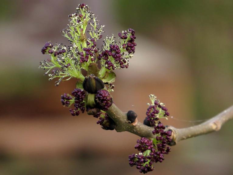 Arī osim violetu ziedu ķekariņi