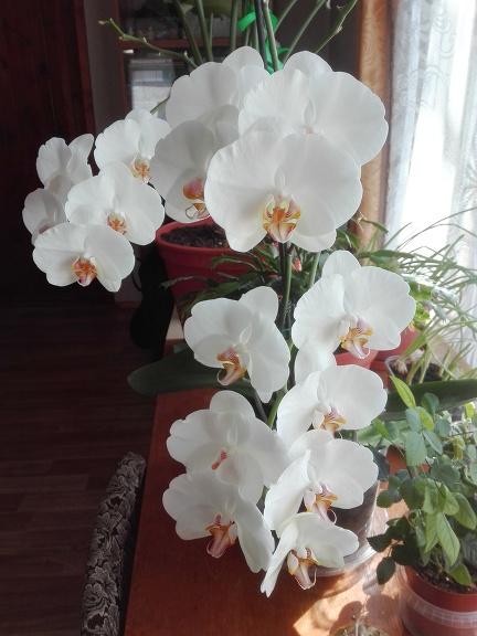 Skaisti zied orhideja.