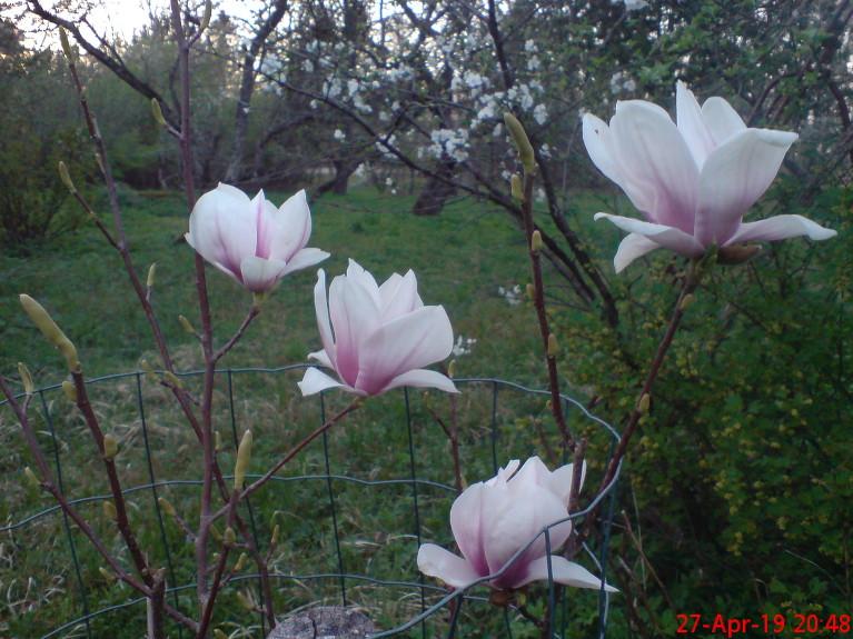 Soulanža magnolijas škirne