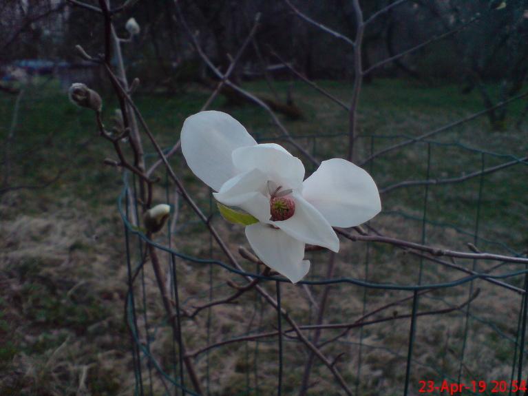 Lebnera magnolija