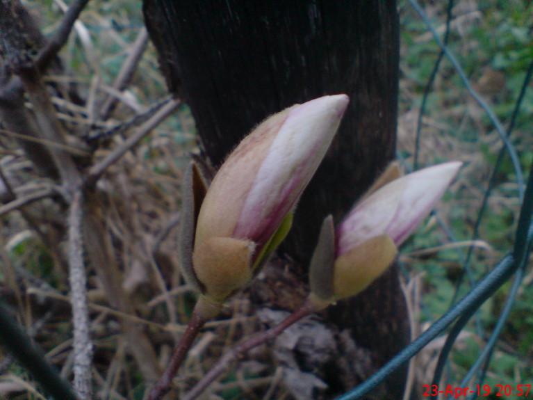 Soulanža magnolijas pumpuri