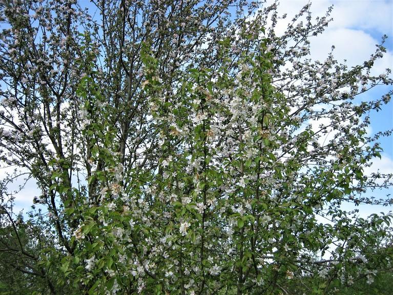 Mežābelei ziedi apskādēti