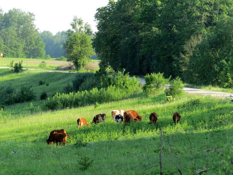 Govis labprātāk uzturas ēnainās vietās.