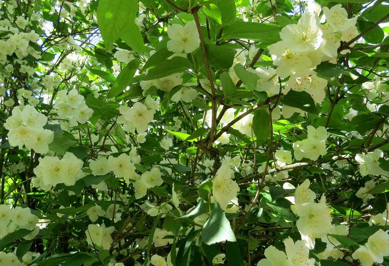 8. jūnijs, zied jasmīni, smarža reibinoša.