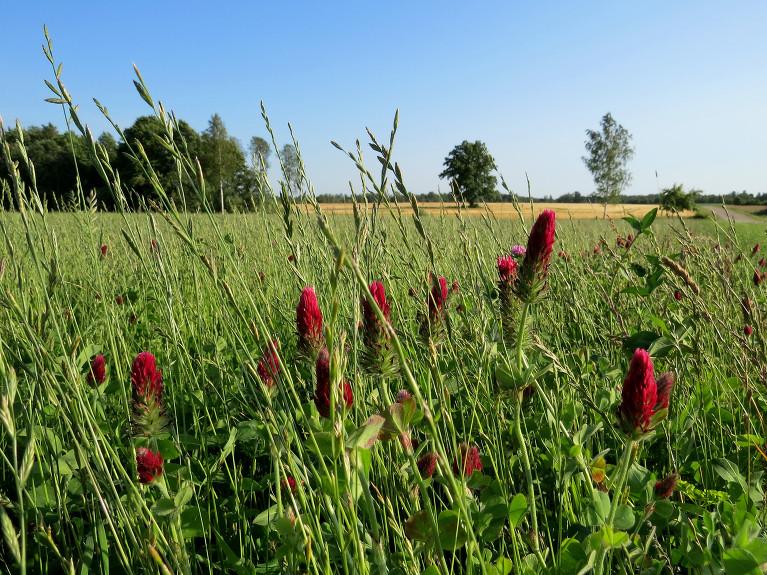 Saulaino laiku gaida arī zemnieki, kam vēl siena lauki pļaujami.