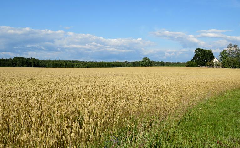 Labības lauki iegūst aizvien zeltaināku krāsu.