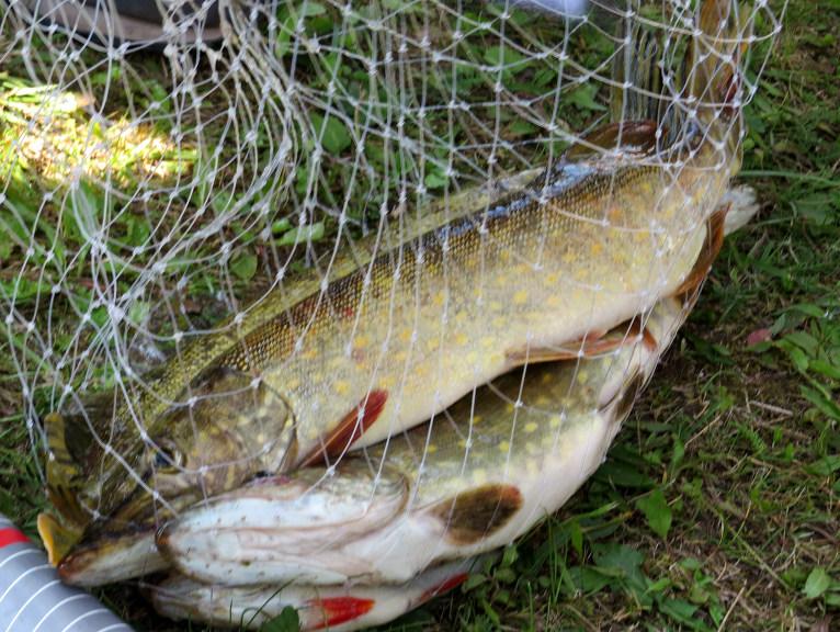 Daugavā zivis vēl ir!