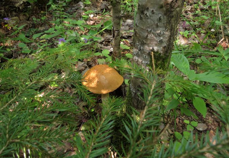 Ja palaimējas, var atrast pa kādai bekai, bet visumā mežā ir sauss