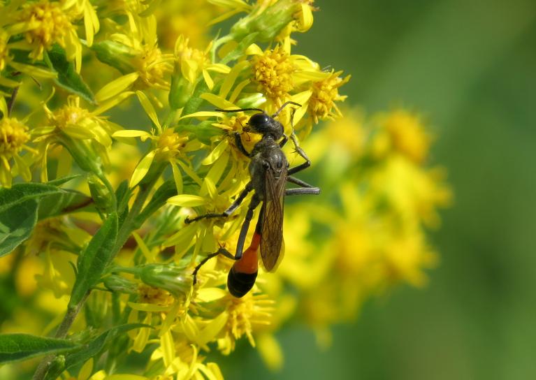 Ziedošie augi kukaiņu pilni