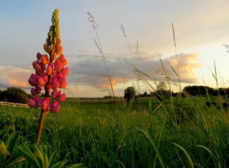 Bet pļaviņā otrreiz zied lupīnas