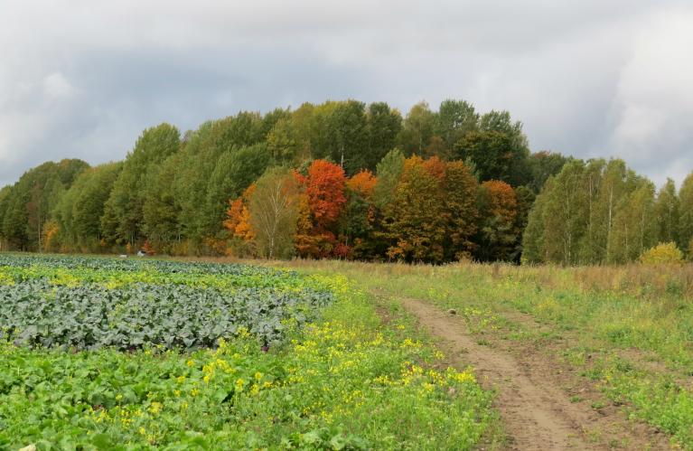 Lielie dārzeņu audzētāji nesteidzas, kolrābju un citu dārzeņu lauki vēl gaida vācējus.