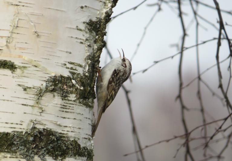Pa bērzu lēkā mazs putnelis, kuram vārdu nezinu.