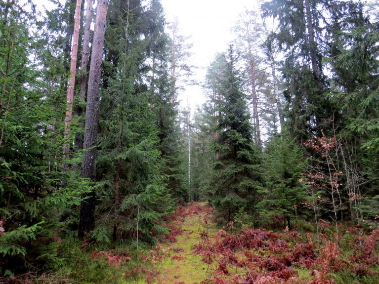 Gatavojoties salam, dodos uz mežu pēc skujām augu ieziemošanai.