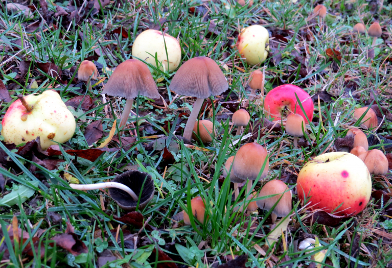 Zem ābeles sadīgušas suņu sēnes.
