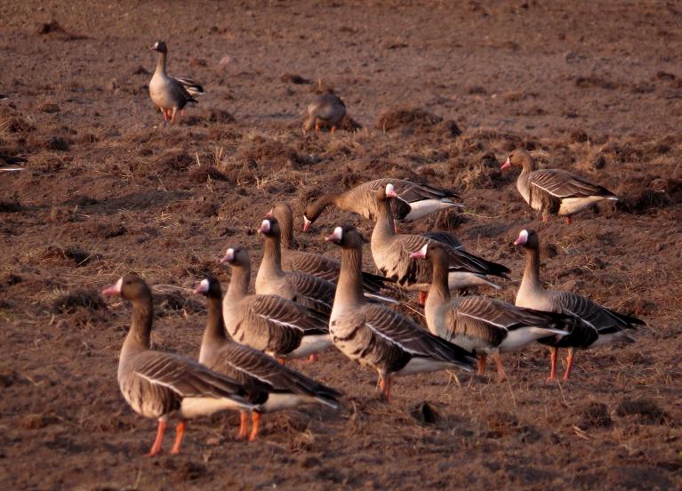 Aprīļa lielā zosu migrācija.