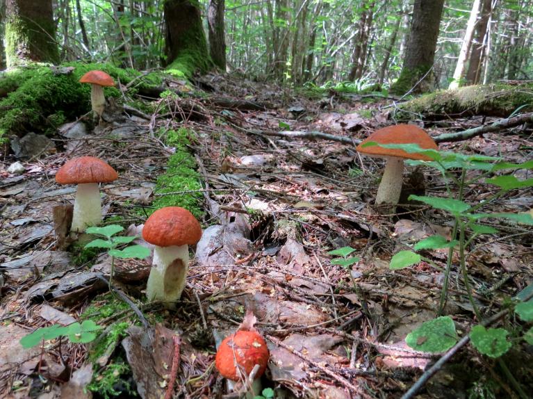 Kā uz burvju mājiena mežs pēkšņi bija sēņu pilns.