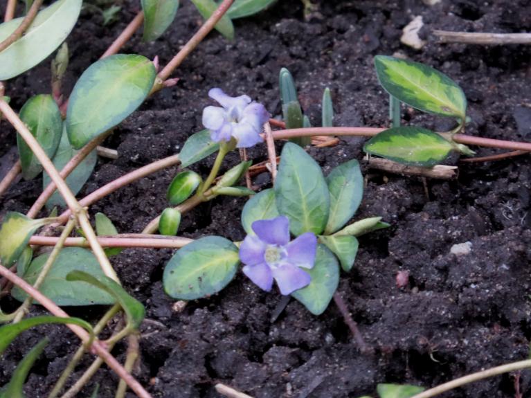 Nezinu, kā sauc šo ložņājošo augu, bet ievēroju, ka tam uzplaukuši pāris zili ziediņi.