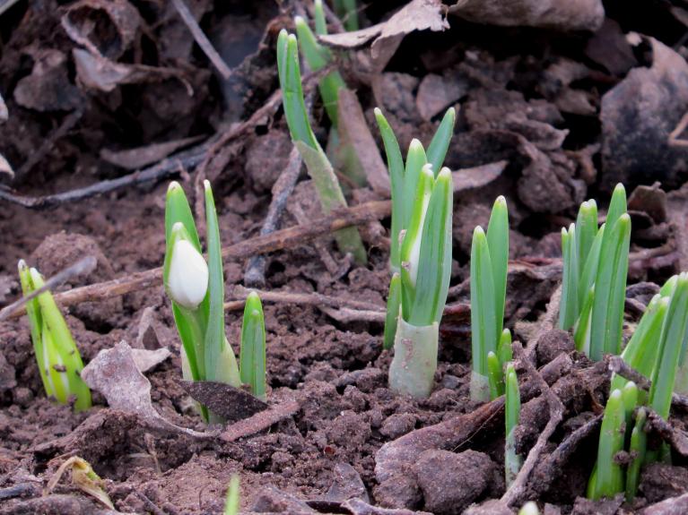 25. janvāris, sniegpulkstenīšiem jau balti ziediņi manāmi.