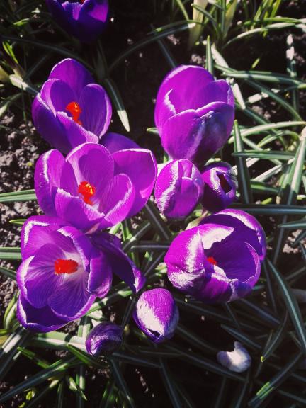 Krokusi zied martā