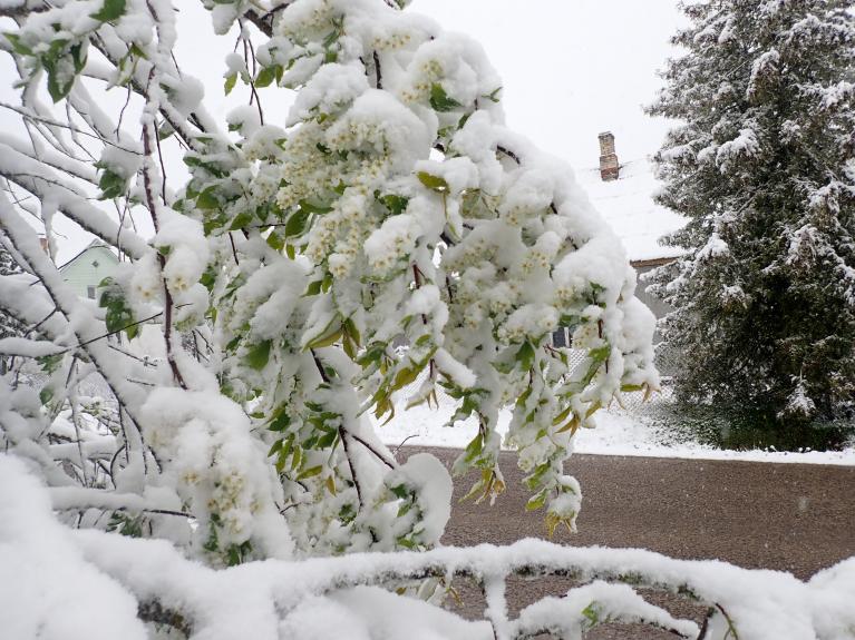Ieva smaržo pat zem sniega ...