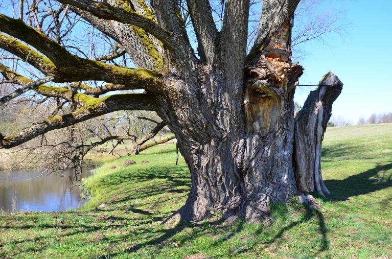 Apes Dzenīšu vītols-iespējams, resnākais baltais vītols Eiropā. 0,5m augstumā stumbra apkārtmērs-9,06m.