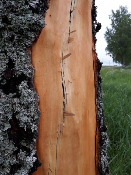 Var redzēt plaisas stumbrā, no kurām izspiestas koka šķēpeles