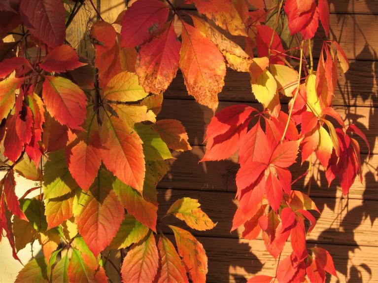 Mežvītenis pie pagraba stūra gan iekrāsojies visā savā krāšņumā.