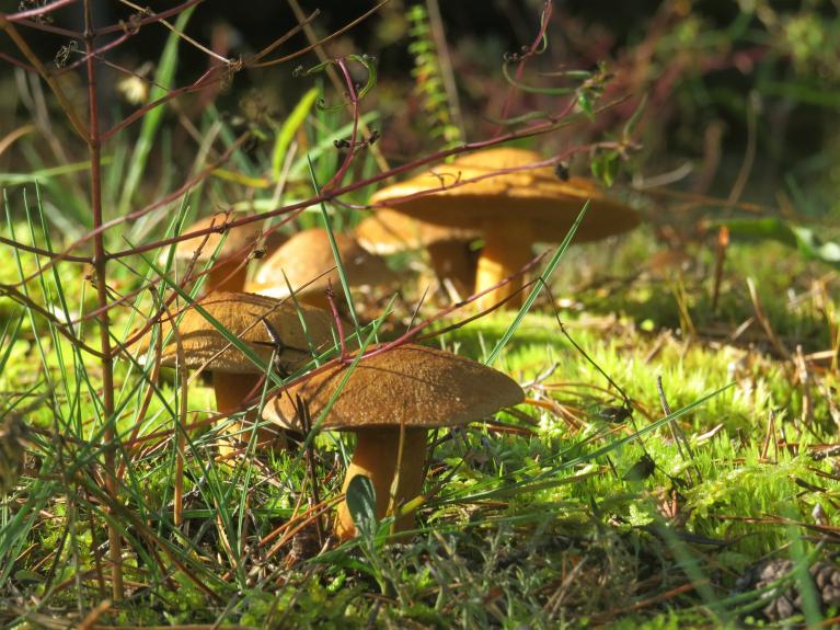 10. septembris- Miķeļbākas kāpu meži, priežu bekas varēja vai ar izkapti pļaut.