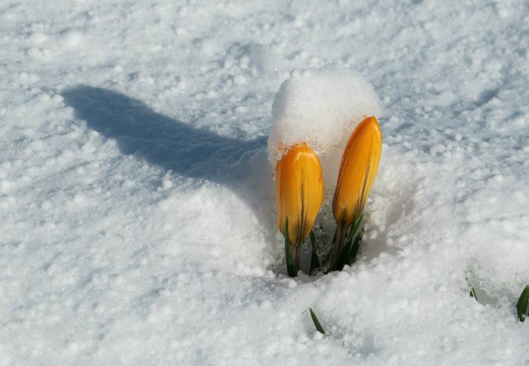 Pavasara ziedus ik pa laikam pārsteidz sniega parādīšanās.