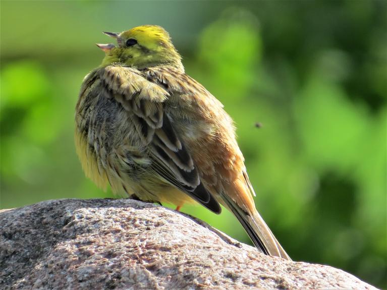 Putni izmanto katru saulainu brīdi, lai iepriecinātu līgavas ar skaistu dziesmu.