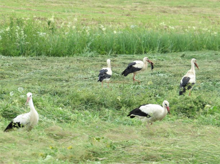 Nopļautajā pļavā stārķi un citi dzīvnieki mielojas ar ūdensžurkām.