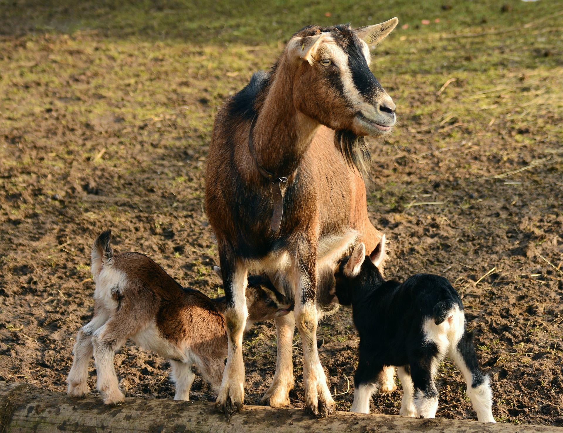 L'élevage de chèvres de l'abbaye de Nottonville - L'élevage de chèvres de l'abbaye de Nottonville