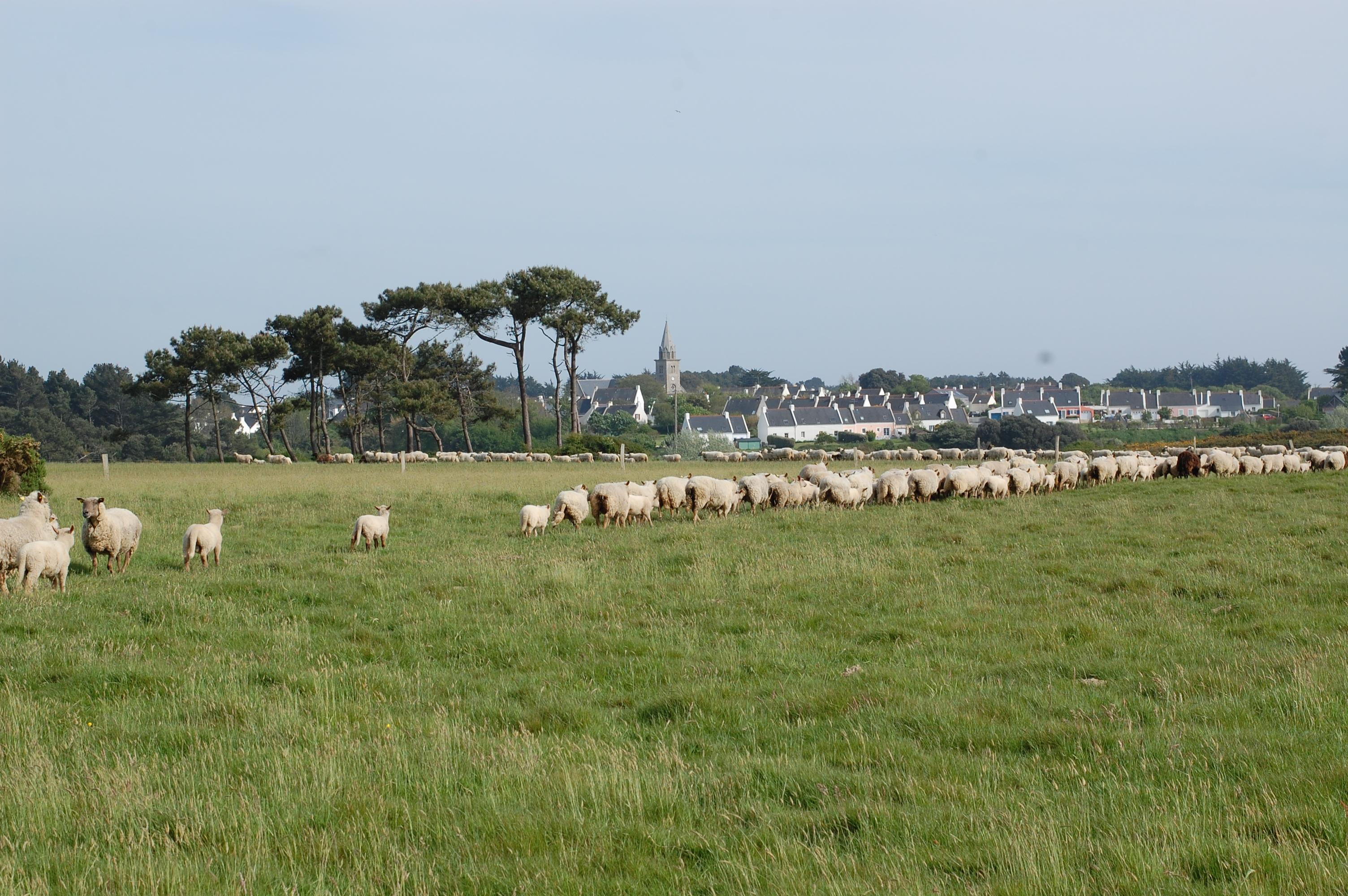 MiiMOSA Réintroduisons la race de moutons de Belle Žle  MiiMOSA