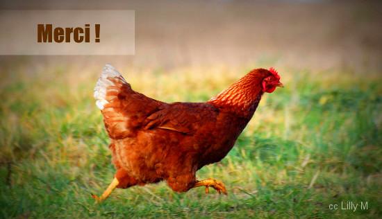 poule-court-550px.jpg